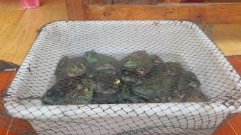 Live frogs for sale