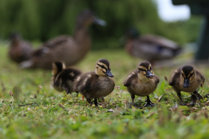 Duckling shot #1