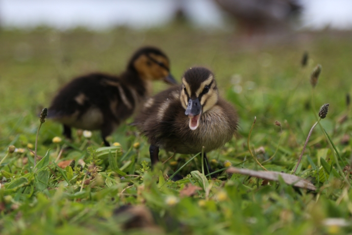 Duckling shot #2