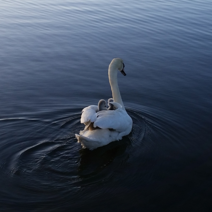 Swan mother with 3 chicks on her back in the pond