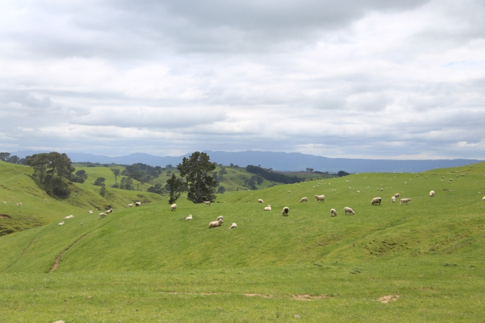 The site of Hobbiton is on the Alexander's Farm.  This is pretty much a sheep paradise!