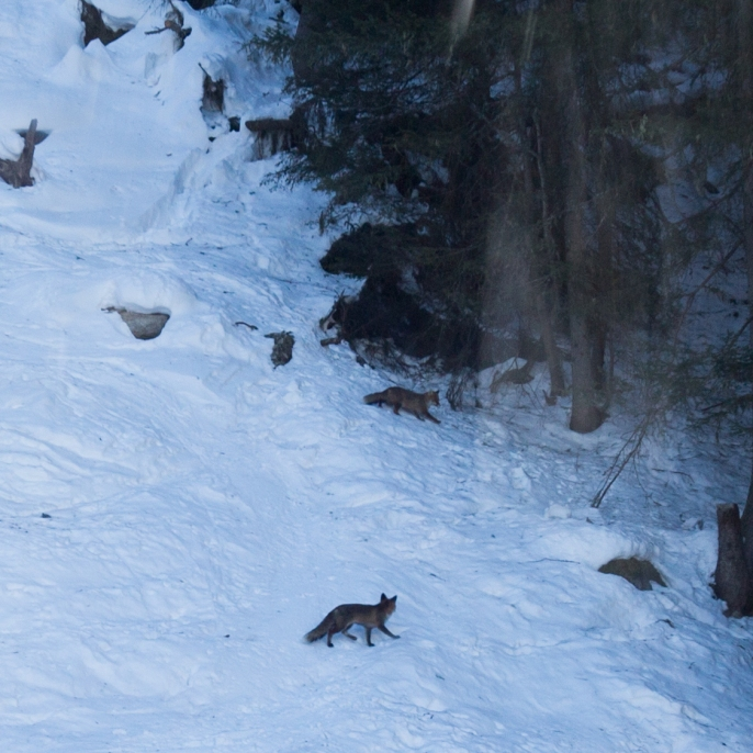 We saw foxes from the gondola!