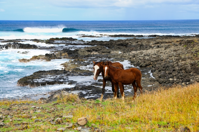 Horses roam free around the island, which has very few fences or boundaries. When the owner wants to ride his horse, he just goes out and finds him in the grasslands.